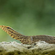 The clouded monitor (Varanus nebulosus) is a species of monitor lizard, native to Burma, Thailand and Indochina to West Malaysia