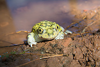Not really a toad - it's a spadefoot (no poison glands), this Couch's spadefoot toad was one of many dozens found after a sudden flash-flood in Western Texas along and near the Rio Grande River. Because they are found only in very dry, desert-like habitats, these spadefoots spend a significant amount of their lives buried underground in a state of hibernation, only emerging after the first spring or summer rains. They will find water immediately and mate the first night. Because these sudden seasonal pools can dry up so quickly, emerging tadpoles can mature in as little as nine days after hatching from their eggs!