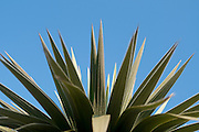 cordyline on blue