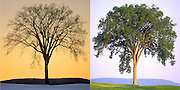 Views of the same Elm tree in two seasons.