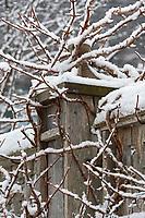 Snow outlining vines climbing a fence at the Asticou Azalea Garden, Northeast Harbor, Maine