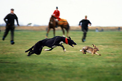 Greyhound lunges at a hare during the 1992 Waterloo Cup, the main event in the coursing calendar, Great Altcar, Lancashire, England, United Kingdom.<br />