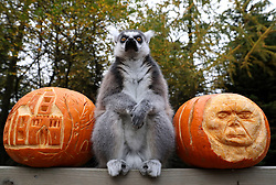 A ring tailed lemur sits next to carved pumpkins at Blair Drummond Safari Park. The pumpkins carved by design students from nearby Forth Valley College AND have been filled with enrichments.