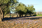TALIOUINE, MOROCCO - October 25th 2015 - Saffron flowers growing at a saffron farm in Taliouine, Sirwa Mountains, Souss Massa Draa region of Southern Morocco