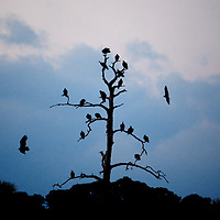 LITTLE ST. SIMONS ISLAND, FL -- October 2, 2010 -- Vultures gather at sunrise on a dead tree on Little St. Simons Island on Saturday, October 2, 2010.   The 10,000 acres of marshland, beaches, and forests are a refuge for wildlife and vacationers alike with only 32 guests permitted a night.  (Chip Litherland for Bay Magazine)