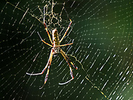 Golden Orb Spider at Selva Verde Lodge & Rainforest Reserve, Costa Rica.