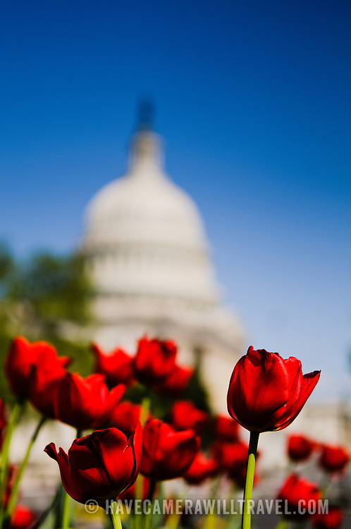 Red tulips in full bloom in the spring in front of the US Capitol Building dome in Washington DC against a clear blue sky. The focus is on the tulips in the foreground with selective focusing blurring the Capitol Dome in the background.