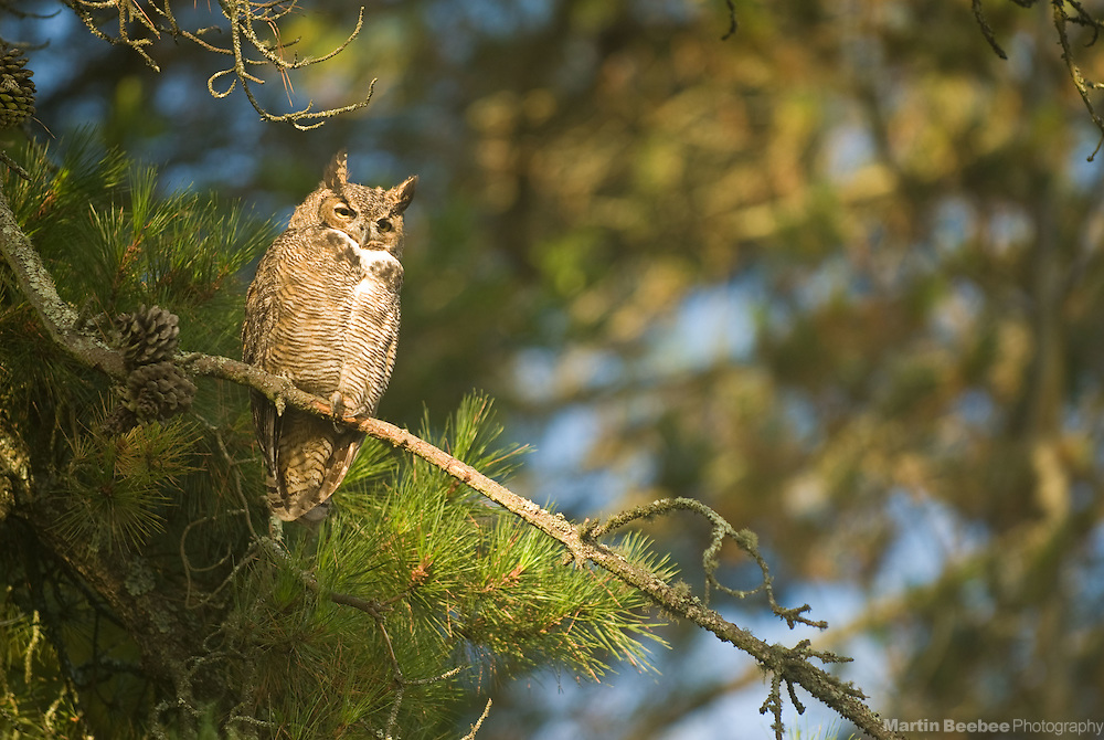 A Great Horned Owl (Bubo virginianus) perches in a pine tree in Tilden Regional Park, Berkeley, California