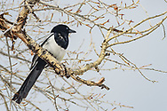 This magpie was very bold as I was packing up my tent at the Mammoth Hot Springs Campground. It was looking for any food I may have dropped under the picnic table.