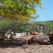 Cows resting in the shade near Bahia Los Frailes. Cabo Pulmo, BCS. Mexico.