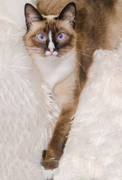 Twinkie, a two-year-old Siamese cat, rests on a white blanket, Octobr 30, 2015 (Photo by Carmen K. Sisson/Cloudybright)