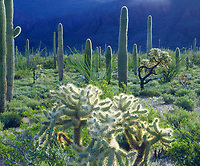 I set up my large format sheet film camera to document the heavy rains that made for a very green Arizona desert in the Ajo Mountains.  My photo shows the diverse cacti and desert plants thriving.