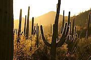 Saguaro cactus (Carnegiea gigantea) grow along Bajada Loop Drive in Saguaro National Park in the Sonoran Desert,Tucson, Arizona, USA.