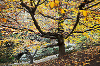 European Hornbeam Tree Fall Foliage in Japanese Garden at The Huntington, San Marino, California<br /> <br /> Year Photographed: 2012
