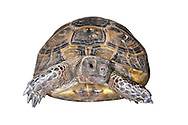 Spur-thighed Tortoise - Testudo graeca