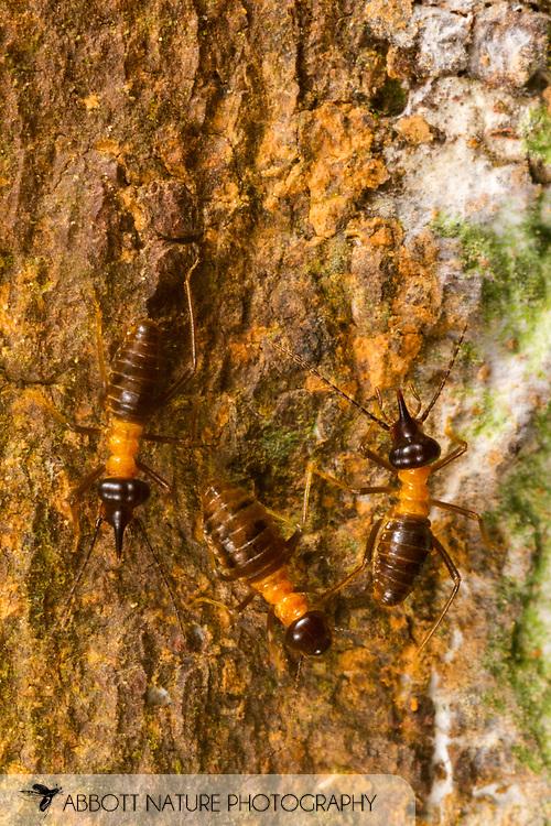 Nasutiform Termite<br /> Peru: Departamento de Madre de Dios Co.<br /> Refugio Amazonas on the Tambopata River<br /> 30-Jul-2016<br /> J.C. Abbott #2857 &amp; K.K. Abbott