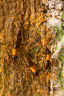 Nasutiform Termite<br /> Peru: Departamento de Madre de Dios Co.<br /> Refugio Amazonas on the Tambopata River<br /> 30-Jul-2016<br /> J.C. Abbott #2857 &amp; K.K. Abbott