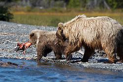 North American brown bear /  coastal grizzly bear (Ursus arctos horribilis) sow and cub eating a salmon along the banks of Skilak Lake / the Kenai River, Kenai National Wildlife Refuge, Alaska, United States of America