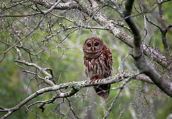 05 June 2014. Jean Lafitte National Historic Park, Louisiana.<br /> A barred owl looking for prey.<br /> Charlie Varley/varleypix.com
