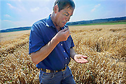 Nederland, Ubbergen, 6-8-2008Akkerbouwer Theo Peters proeft zijn tarwe om te bepalen of het rijp is om te oogsten. Tarwekorrels,graankorrels.Foto: Flip Franssen/Hollandse Hoogte