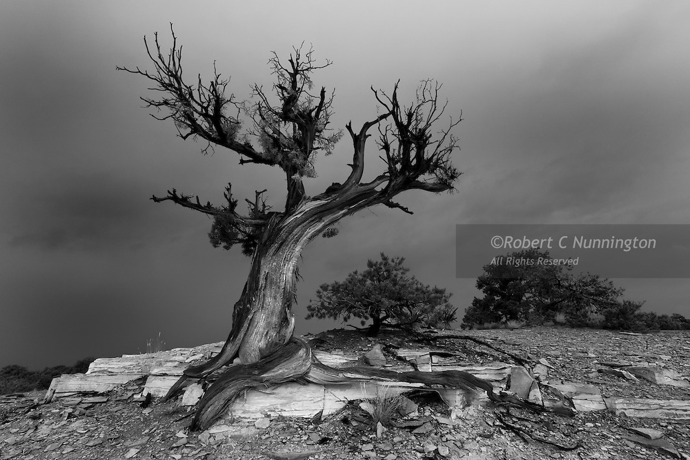 A monochromatic study of a juniper tree having survived after a past fire or lightning strike