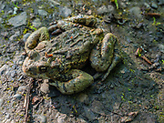 Western Toad / Anaxyrus boreas. Riverside Park, Smithers, British Columbia, Canada.