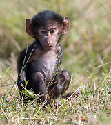 Newborn savanna baboon (Papio anubis) from Maasai Mara, Kenya.