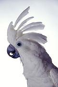 White-Crested Cockatoo (Cacatua alba) portrait. Note the raised crest. Range: Indonesia.