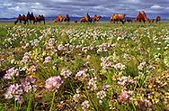 Mongolei, MNG, 2003: Kamel (Camelus bactrianus). Herde beim Grasen auf einer blühenden Steppe. Die Wüste Gobi blühte im Süden aufgrund ungewöhnlich starker Regenfälle in diesem Jahr, überall roch es nach Zwiebeln.   Mongolia, MNG, 2003: Camel, Camelus bactrianus, herd grazing on the blooming steppe full of rockambole plants, everywere it was smelling like onions and rockambole, very unusual because of the rainy summer, South Gobi.  