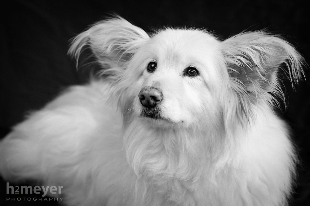 Border Collie mix, white with big ears - owner Hanmi Meyer