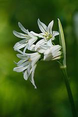 Driekantig look, Allium triquetrum