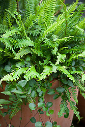 Vinca minor 'Dartington Star' and Blechnum spicant AGM (Hard fern) in a container