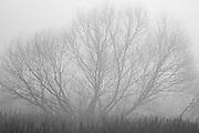 Monochromatic tree with thick morning fog art. <br /> Savannah, Georgia. U.S.A