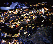 a river's waterflow slowly recedes its ledges while the leaves of fall determinedly seek space on the river bed.