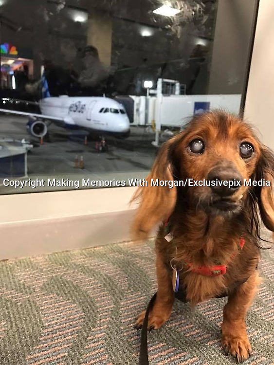 18-Year-Old Rescue Dog Is Doing Everything On His Bucket List <br /> <br /> Morgan is a senior dachshund who is currently the ripe old age of 18. When Morgan's human passed away, he ended up at the Lee County Domestic Animal Services (LCDAS) in Fort Myers, Florida.<br /> <br /> When staffers at the shelter realized how old Morgan was, they knew they needed to get him out of the shelter to somewhere he could live out the rest of his days in peace. The shelter decided to reach out to Senior Paws Sanctuary (SPS) to see if it could help the elderly little dog.<br /> <br /> &quot;LCDAS called SPS to inform us that an elderly, unadoptable dog had arrived and wanted to know if we could help him,&quot; Kate Reidy, Morgan's foster mom,. &quot;The founder and organizer of SPS went to see Morgan and fell in love.&quot;<br /> <br /> All of the dogs with SPS are sent to live with foster families, and so Morgan went to live with Reidy and her 10-year-old dog, Charlie. Reidy assumed that because he was already 18, Morgan would be a slower, sleepier kind of dog &mdash; but that turned out not to be the case at all.<br /> <br /> &quot;I joke and say Morgan has Benjamin Button disease,&quot; Reidy said. &quot;He has gotten more active, livelier and his personality has grown in the past year of fostering him. Most people don't believe his age!&quot;<br /> <br /> Morgan immediately began to thrive in his foster home, loving everything about his new life. His new mom got him his own stairs to help him get onto the couch and bed, and he loves to wander around his house exploring.<br /> <br /> &quot;He loves attention,&quot; Reidy said. &quot;He loves to snuggle as close as he can to you and every so often he will get up and sniff your face just to make sure he remembers who he is sitting with! It's so sweet.&quot;<br /> <br /> No one can be sure exactly what Morgan's first 18 years of life were like, or exactly what he got to do or see. Since his foster home seemed to make him livelier and more excited to explore the world, his foster mom decided to make him a bucket list.<br /> <br /> So far, Morgan has gotten to go on a plane &hellip;<br /> meet a sergeant and beco
