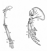 Homology: A: Fore-limb of monkey. B: Fore-limb of whale. Although different at first sight, they have similar architecture. SC, scapula: H, Humerus: R and U, radius and ulna: CA, wrist: MC, palm and fingers.  Engraving c 1920