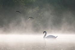 © Licensed to London News Pictures. 24/05/2016. Leeds UK. Picture shows two ducks flying over a swan in the mist at Golden Acre park in Leeds this morning. Photo credit: Andrew McCaren/LNP