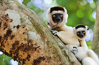 Female and juvenile Verreaux's sifaka in a tree, Nahampoana Reserve, Fort Dauphin, Madagascar.
