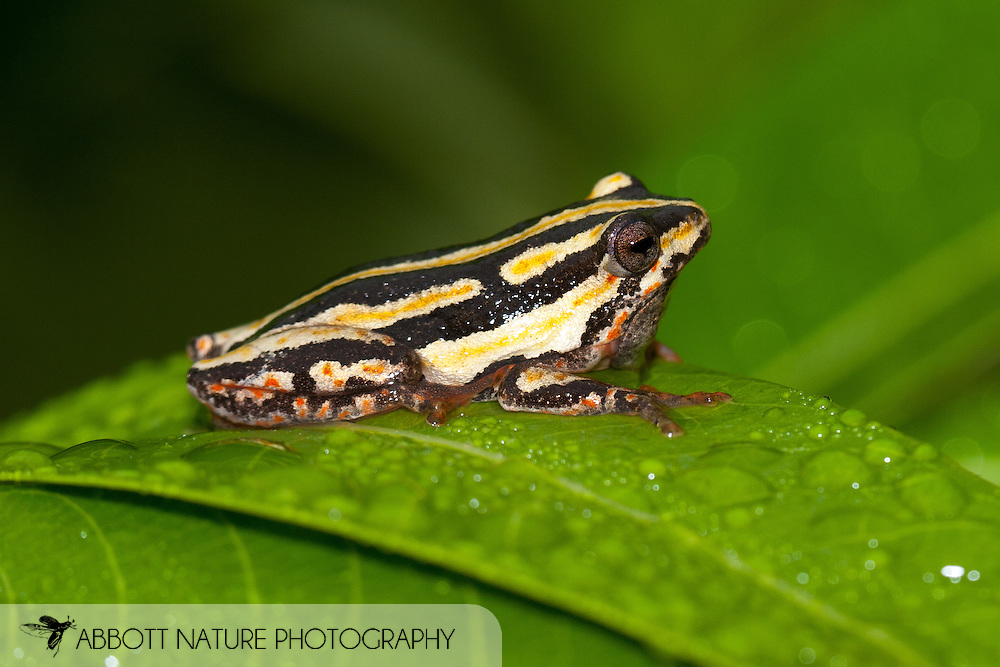 Painted Reed Frog (Hyperolius marmorotus)<br /> SOUTH AFRICA: Limpopo Province<br /> Kurisa Moya nr. Haenertsburg<br /> 9-11.Jan.2006 S23 48.332 E29 56.21 1540m<br /> J.C. Abbott #2216