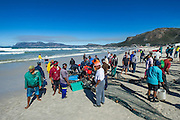 Trek net haul on the beach , Strandfontein, False Bay, Western Cape, South Africa