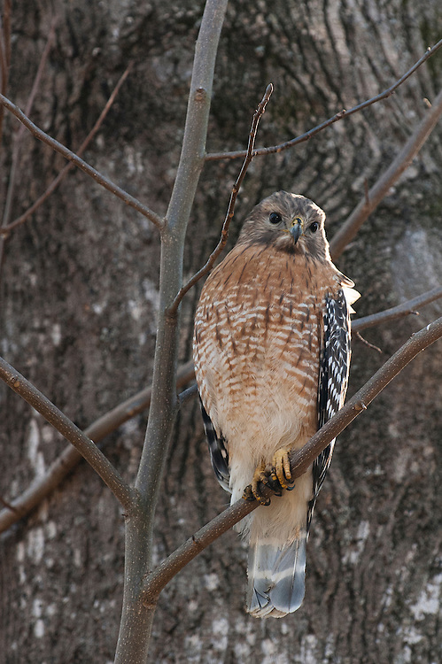 Red-shouldered Hawk<br /> Buteo lineatus<br /> Gainesville, Georgia USA
