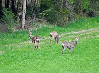 Switzerland. Springtime. Three wild deer caught unaware in a forest clearing near Aesch.