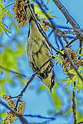 Yellow-rumped Warbler - Dendroica caronata sitting on a branch and looking downward