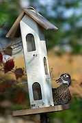 Wood Duck, Aix sponsa, female, on bird feeder, Lake County, Ohio