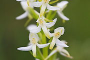 Nattfiol, sannsynligvis grov nattfiol, Platanthera chlorantha.