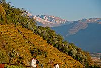 Golden autumn vineyards on steep slope in Valle Verzasca,  Ticino, Southern Switzerland.