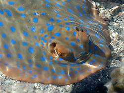 "A Blue Spotted Lagoon Ray (Taeniura lymna) hovers in the shallows in Deception Bay.  The rays move into shallow water to feed as the tide rises, moving to the safety of the reef as it falls.  The IUCN has listed the rays as ""near threatened"" due to the destruction of their habitat."
