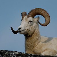 Dall sheep ram posing on a boulder against blue sky on Primrose Ridge in Denali National Park Alaska.