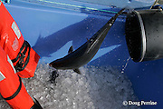 a fresh live Kona kampachi, Seriola rivoliana, also known as Hawaiian yellowtail, kahala, or almaco jack, shoots through a suction tube into an ice bin as the fish are harvested from an aquaculture pen, Kona Coast, Hawaii Island ( the Big Island ), Hawaiian Islands, USA ( Central Pacific Ocean )