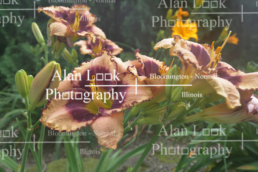 Peach, purple and yellow colored lily (Lilium) bloom<br /> <br /> This image appears soft or foggy.  It was shot with moderate condensation on the lens.
